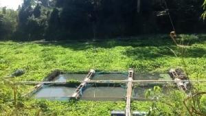 ปิดฉากอาชีพเลี้ยงปลาน้ำพอง น้ำแห้งต้องเลิกเลี้ยงทั้งหมดกว่า 3 พันกระชัง
