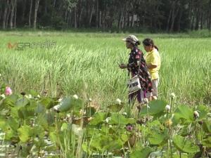 """เกษตรกรห้วยยอดปรับเปลี่ยนทำ """"นาบัว"""" สร้างรายได้ให้อย่างงดงาม"""