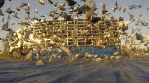 นกพิราบเยอรมนี บินฝ่าฝน! ครองแชมป์เฉือนไทย 0.5 วิ