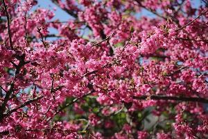 ซากุระญี่ปุ่นออกดอกสีชมพูสดที่สถานีเกษตรหลวงอ่างขาง