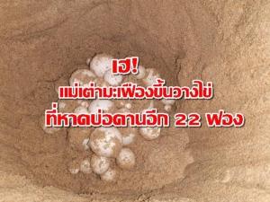 เฮ! รังที่ 5 ของปีนี้แล้ว แม่เต่ามะเฟืองขึ้นวางไข่ชายหาดบ่อดาน จ.พังงา อีก 22 ฟอง