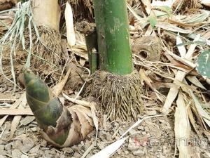 """เกษตรกรนาโยงพลิกผืนนาปลูก """"ไผ่หวานกิมซุง"""" สร้างรายได้"""