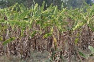 สวนกล้วยเริ่มแห้งเหี่ยวรอวันตาย หลังกระทบภัยแล้งขาดแคลนน้ำ