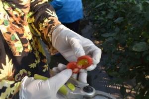(ชมวิดีโอ) ชาวยางตลาดยิ้มรับหน้าแล้งปลูกมะเขือเทศขายเมล็ด โกยรายได้งามถึงกิโลละ 1.2 หมื่น