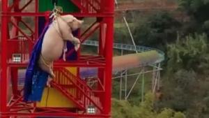 โลกออนไลน์ด่ายับ!!สวนสนุกจีนพิเรนท์จับหมูเล่นบันจีจัมพ์(ชมคลิป)