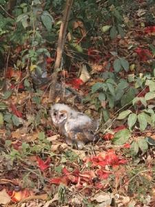 วอนอย่าทำร้ายนกแสก หลังพบถูกชาวบ้านทำร้ายจนปีกหัก 2 ตัว ชี้คือสัตว์ป่าคุ้มครอง