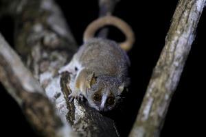 ตัวลีเมอร์ชนิดหนึ่ง (grey mouse lemur) บนต้นไม้ในป่ามาดากัสการ์  (REUTERS/Baz Ratner)
