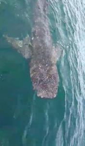 ตื่นเต้น! พบฉลามวาฬตัวใหญ่ โผล่ใกล้เกาะหมา กระบี่  รับตรุษจีน