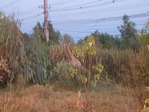 รถขนสัตว์ทำน้องยีราฟหลุดบนถนน 304 ฉะเชิงเทรา เจ้าหน้าที่ล้อมจับรถติดหนึบ