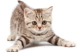 ทาสแมว คลายกังวล นักวิจัยเผยข้อมูลโคโรนาแมวคนละสายพันธุ์กับไวรัสอู่ฮั่น  ไม่ติดสู่คน