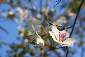 """ชวนเที่ยวงาน """"เทศกาลดอกเสี้ยวบาน ป่าเหมี้ยง"""" บานสะพรั่งพร้อมอวดสายตา"""