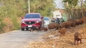 ชาวบ้านร้อง หมูป่ายึดถนนทำเหลือเลนเดียว เกรงเกิดอุบัติเหตุ