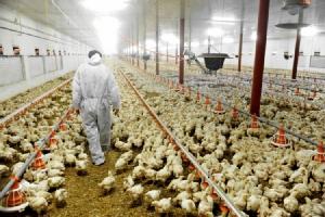 องค์กรพิทักษ์สัตว์แห่งโลกเผย ผู้บริโภคไทยเสี่ยงอันตรายจากเนื้อไก่ที่ถูกเลี้ยงไม่ได้มาตรฐาน