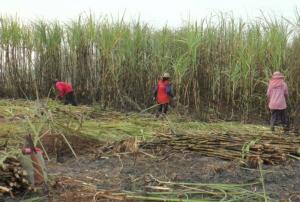 ผลผลิตอ้อยไทยปีนี้ส่อเค้าไม่ถึง 80 ล้านตัน ภัยแล้ง! ลากยาวฤดูถัดไปเข้าขั้นวิกฤต