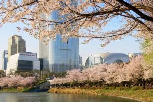 ดอกซากุระ หรือ ดอกพ็อดกด ในฤดูใบไม้ผลิที่เกาหลีใต้