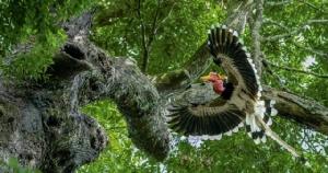 """นกเงือก เตือนมนุษย์ """"ให้รักแท้ รักผืนป่า"""" มูลนิธิฯ ส่งสัญญาณร้าย """"นกชนหิน"""" กำลังสุ่มเสี่ยงจะสูญพันธุ์"""