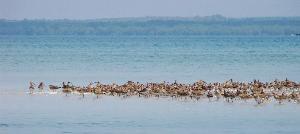 นอกจากพะยูนแล้วเกาะลิบงยังเป็นที่อยู่ของนกหลากชนิด