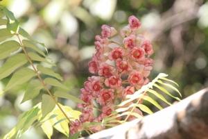"""พาไปรู้จัก """"ชมพูภูคา"""" ดอกไม้หายากหนึ่งเดียวในโลก พบที่ดอยภูคา จ.น่าน"""