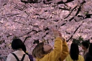 ญี่ปุ่นงดจัด 'เทศกาลชมดอกซากุระ' ลดความเสี่ยงแพร่เชื้อ 'โควิด-19'
