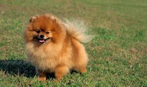 """สัตวแพทย์ แจงเคสฮ่องกงเจอ """"สุนัข"""" มีเชื้อโควิด-19 แต่ไม่ได้ติดเชื้อ"""