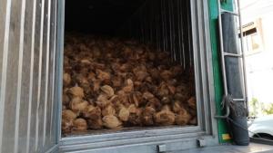 ศุลกากรจับลักลอบขนมะพร้าวเถื่อนอินโดนีเซีย กว่า 20 ตัน