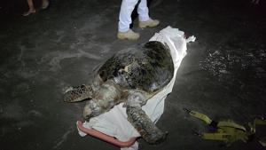 พบซากเต่าตนุน้ำหนักร่วม 100 กก.ถูกคลื่นซัดขึ้นมาที่ชายหาดเขาตะเกียบ หัวหิน