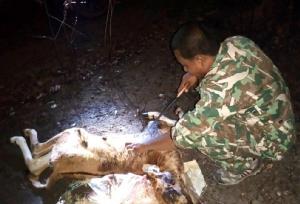 พรานยิงลูกวัวแดงวัย 3 เดือน ยัดใส่กระสอบมัดติดท้ายรถ จยย.โยนทิ้งข้างทางหนีความผิด