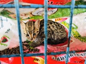 ชาวบ้านอ่างทองตื่นเต้น!! พบแมวดาวสัตว์ป่าสงวน ติดกรงดักหนูกลางไร่อ้อย