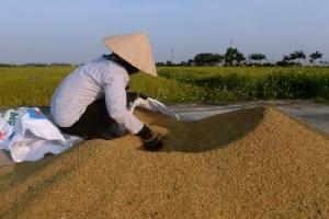 เวียดนามระงับทำสัญญาส่งออกข้าว สั่ง จนท.เช็กคลังให้พอบริโภคในประเทศ