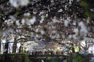 <i>ประชาชนชาวญี่ปุ่นมีชื่อเสียงมานานในเรื่องระเบียบวินัย  แต่ช่วงเวลาที่ดอกซากุระบานยังคงมีมนตร์ขลังเกินห้ามใจ จึงยังมีผู้คนออกมารวมตัวเพื่อชมดอกซากุระกันในกรุงโตเกียวเมื่อวันพฤหัสบดี (26 มี.ค.) ถึงแม้ไวรัสโควิด-19 กำลังระบาด  ทั้งนี้ทางการโตเกียวเรียกร้องชาวเมืองให้อยู่แต่ในบ้านสุดสัปดาห์นี้เพื่อชะลอโรคติดต่อ </i>