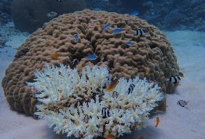 ปะการังฟอกขาวในเกรทแบร์ริเออร์รีฟ (Handout / JAMES COOK UNIVERSITY AUSTRALIA / AFP )