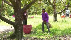 ตราด อนุโลมล้งรับซื้อผลไม้นำต่างด้าวเข้าตัดทุเรียน-มังคุดในสวนชาวบ้านได้แต่ต้องปรับวิธีทำงาน
