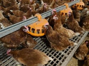 """ซีพีเอฟเปิดตัว """"ไก่รุ่นรักษ์โลก"""" นวัตกรรมอาหารสัตว์ลดการปล่อยก๊าซคาร์บอนไดออกไซด์"""