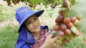 ไร่องุ่นหนองคายปรับตัวสู้โควิด-19 เน้นขายออนไลน์แทนขายผลสดในไร่