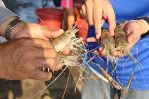 เกษตรกรเลี้ยงกุ้งราชบุรีส่งออกไม่ได้ช่วงวิกฤตโควิด-19 ตกค้าง 500 ตัน วอนรัฐช่วย