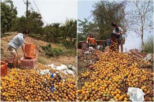 แล้งกระหน่ำ-ราคาร่วงไม่พอ โควิดระบาดซ้ำตลาดปิด-พ่อค้าไม่มาซื้อ ต้องขนส้มทิ้งกันเป็นตันๆ