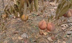 แล้งกระหน่ำ! ส้มวังชิ้นหมื่นไร่เริ่มเหี่ยวคาต้น-ลูกเล็กราคาดิ่งเหว โควิดทำตลาดปิดซ้ำ