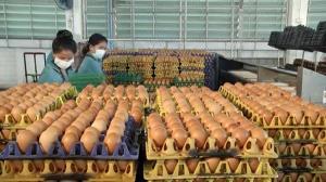 ฟาร์มไก่ไข่ร้อง ขอปลดล็อกส่งออก โอดใกล้เจ๊งหลังไข่ล้นตลาด