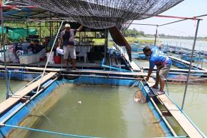 ปลากระชังน็อกน้ำตายเป็นเบือ คาดสภาพอากาศร้อนทำให้ปรับสภาพไม่ทัน