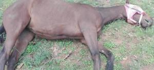 """สันนิษฐาน """"ม้าลาย"""" ต้นตอของโรคระบาด """"กาฬโรคแอฟริกาในม้า"""" ทั่วประเทศไทย"""