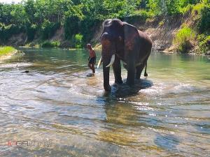พิษโควิด-19 กระทบต้องย้ายช้างจากเมืองท่องเที่ยวกลับบ้านเดิมในตรัง-พัทลุง