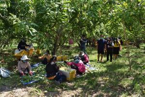 ชาวสวนมะม่วงมหาชนกสุดช้ำโควิด-19 ทำพิษ ขายไม่ออกตกค้าง 800 ตัน