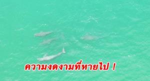 น่าตกใจ! พฤติกรรมมนุษย์ทำโลมาอิรวดี-พะยูน-เต่าทะเล เริ่มหายจากทะเลเมืองตราด