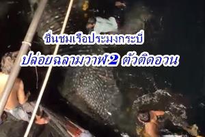 ชื่นชมเรือประมงกระบี่ปล่อยฉลามวาฬติดอวน 2 ตัว กลับทะเล ระบุ 6 คืนติดมาแล้ว 6 ตัว