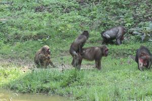 คึกคัก!! ฝูงลิง และค่างรวมกันกว่า 100 ตัว ออกมาวิ่งเล่นที่แคมป์บ้านกร่าง อช.แก่งกระจาน