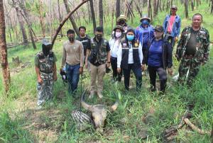 เร่งล่าพรานใจโหด พบซากกระทิงป่าทับลานถูกชำแหละเนื้อกลางป่าท้ายหมู่บ้านครบุรี โคราช