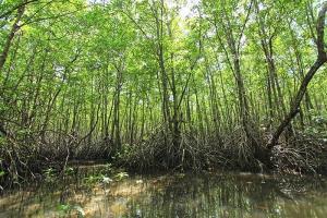 ป่าโกงกาง ไม้หลักของป่าชายเลน (สถานที่ในภาพคือ ป่าชายเลนยะหริ่ง)
