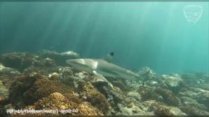 อุทยานฯ เกาะพีพี อวดภาพฉลามหูดำโผล่ว่ายน้ำ อ่าวมาหยา-เกาะไม้ไผ่-เกาะปอดะ ชี้ธรรมชาติสมบูรณ์ขึ้น (ชมคลิป)