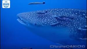 ฉลามวาฬแหวกว่ายโชว์ตัวที่เกาะเต่า (ภาพ : Koh Tao Thai Divers Team - KTDT)