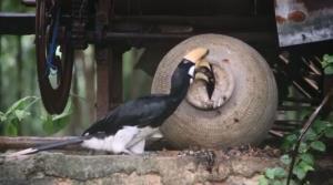 ภาพหาดูยาก! นกเงือกแม่-ลูกเจาะโพรงไหออกสู่ธรรมชาติ